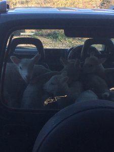 Lamb taxi
